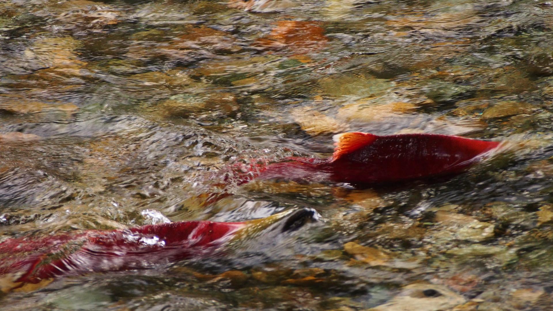 Urgency and idaho sockeye part 2 for Salmon fishing in idaho