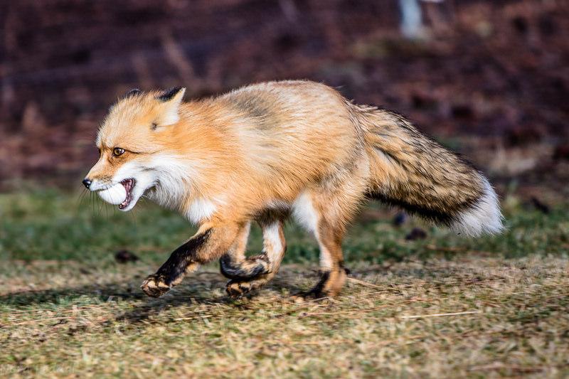 Fox Guarding The Hen House Idaho Conservation